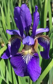 Iris Sib Caesar's Brother (1 gallon)