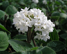 Load image into Gallery viewer, Viburnum Korean Spice (2 gal)