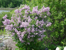 Load image into Gallery viewer, Syringa Lilac Bush (3 gal)