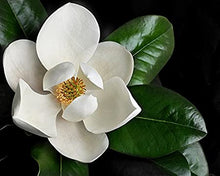 Load image into Gallery viewer, Southern Magnolia Tree (25 gal) (8ft)
