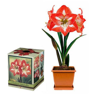 Amaryllis Minerva Growing Kit