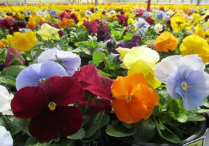 Pansy Mix Clear 4.5 inch (Per Flat - 10 plants)