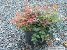 Load image into Gallery viewer, Nandina Domestica 'Harbour Dwarf'