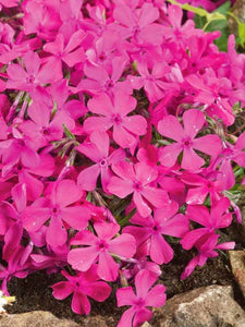 Creeping Phlox  Hot Pink 'Emerald Pink' -1 gal
