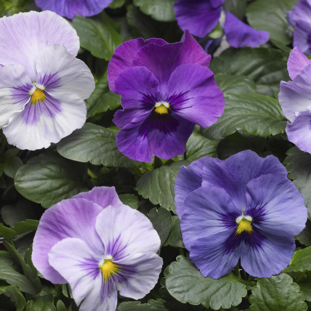 Pansy Lavender Shades 4.5 inch (Per Flat - 10 plants)