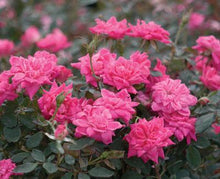Load image into Gallery viewer, Rosa x Knock Out Pink (3 Gallon)