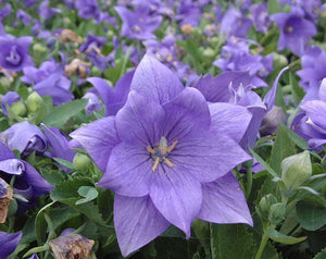 "Platycodon ""Astra Blue"" ""balloon flower"" (1 gal)"