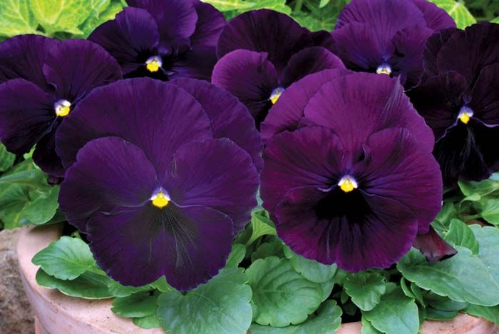 Pansy Purple 6 inch (Per Flat - 6 plants)