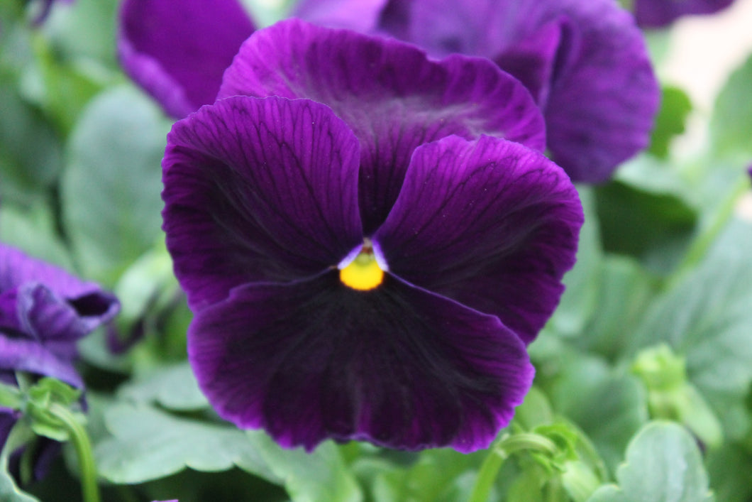 Pansy Purple 4 inch (Per Flat - 18 plants)
