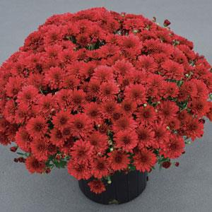 Mum Red/ Burgundy 6 inch
