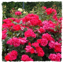 Load image into Gallery viewer, Rosa Double Knock Out Red (3 Gallon)
