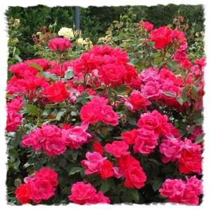 Rosa Double Knock Out Red (3 Gallon)