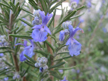 "Load image into Gallery viewer, Rosmarinus Officinalis ""Rosemary"" (1 gallon)"