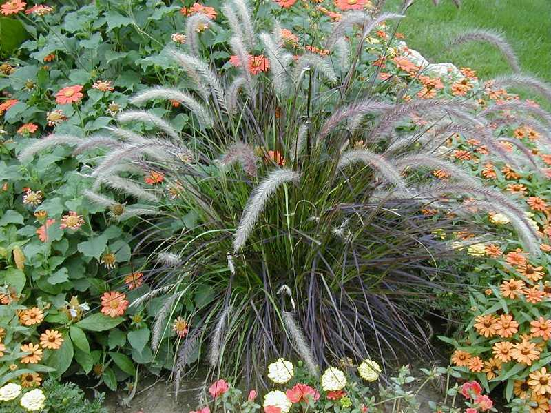 Crimson Fountain Grass Pennisetum Setaceum