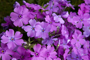 "Creeping Phlox Subulata ""Spring Purple' (1 gallon)"