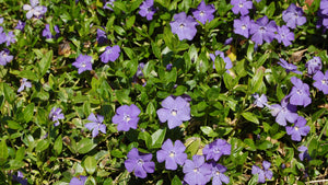 Periwinkle Groundcover (vinca minor)- (sold by the flat)