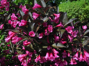 "Weigela Florida ""Wine & Roses"""