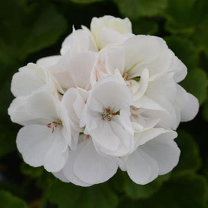 Hanging Basket Geranium White