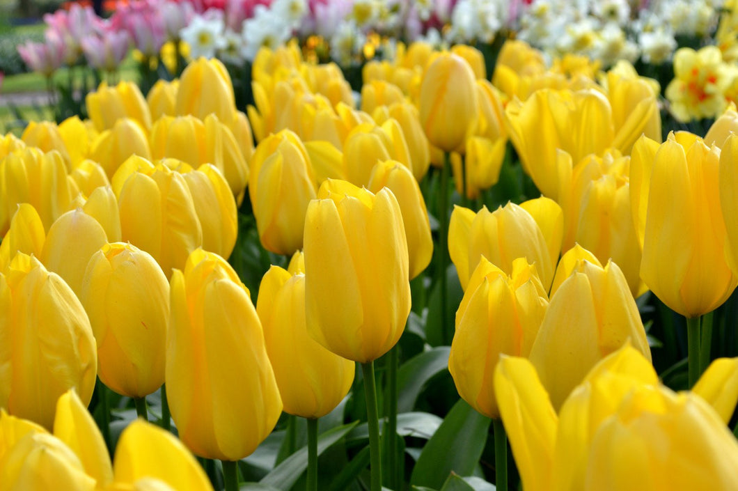 Tulip Yellow Emperor Bulb 10 Pack