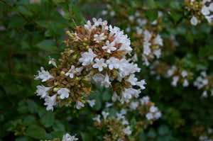 "Abelia Grandiflora ""Little Richard"""
