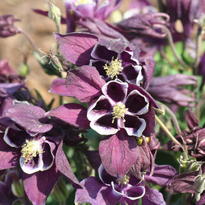 "Columbine ""Winky Purple & White"" (1 gallon)"