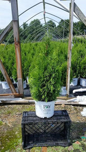 "Thuja Occidentalis ""North Pole"" (3 gal)"