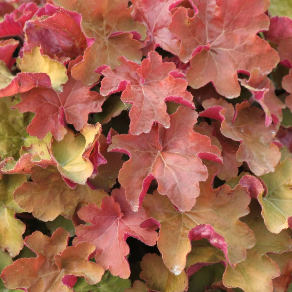 Heuchera Caramel (1 gallon)