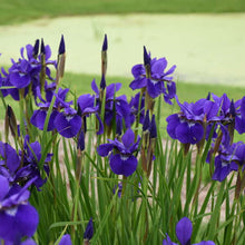Load image into Gallery viewer, Iris Sib Caesar's Brother (1 gallon)