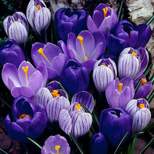 Crocus Blue Moon Mixture Bulb 15 Pack