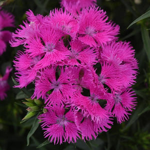 "Dianthus ""Rocking Purple"" (1 gallon)"