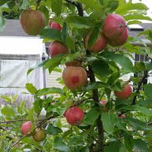 Load image into Gallery viewer, Malus Pumila Honeycrisp Apple Tree