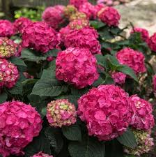 "Hydrangea Macrophylla ""Summer Crush"" (7 gal)"