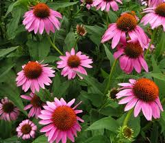 Echinacea Native Purple Coneflower (1 gallon)