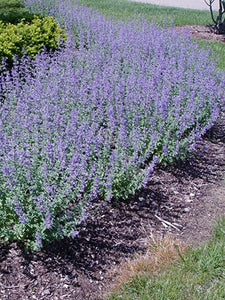 "Nepeta - Catmint ""Walker's Low'' - 1 gal"