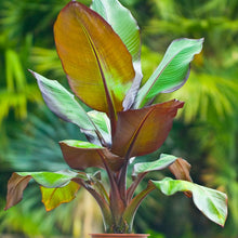 "Load image into Gallery viewer, Ensete Ventricosum ""Maurelii""- ""Banana Tree""  (4qt / 2gal)"