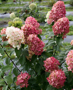 Hydrangea Paniculata Fire Light (3gal)