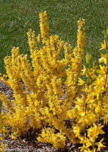 Load image into Gallery viewer, Forsythia Koreana Flying Machine (2 Gallon)