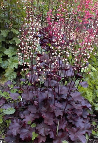 "Coral Bells Heuchera ""Palace Purple"""