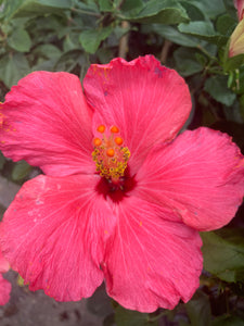 Hibiscus Tree (14inch container) PINK
