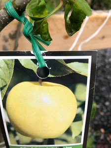 "Malus ""Yellow delicious"" Apple Tree"