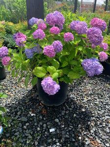 "Hydrangea ""Bloomstruck"" (15 gallon)"