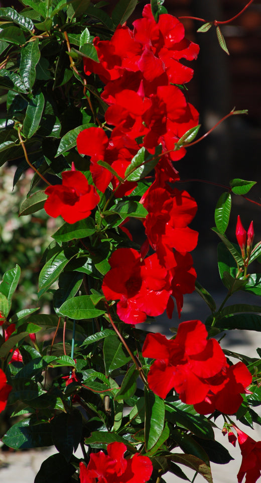 Mandevilla Red Emperor Trellis (10in container)