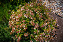 Load image into Gallery viewer, Abelia 'Rose Creek' (3 gal)