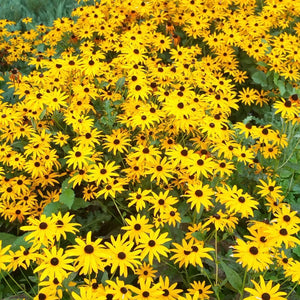 "Black-Eyed Susan Rudbeckia ""Goldsturm"" (1 gallon)"