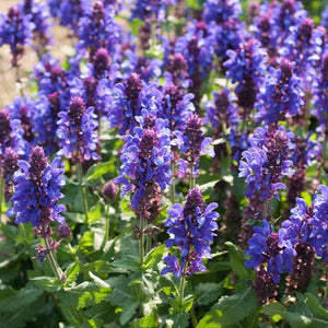 "Sage Salvia ""Blue Marvel"""