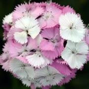 "Sweet William Dianthus ""Sweet Pink Magic"" - 1 gal"
