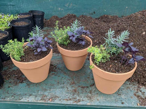 Assorted Herb Pot collection (Plant Herb 8inch)