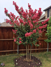 "Load image into Gallery viewer, Lagerstroemia Crape Myrtle ""Tuscarora"" (15 gal)"