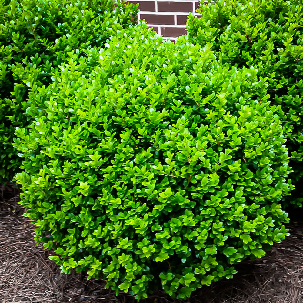 Buxus Microphylla 'Winter Gem' boxwood (3 gal)