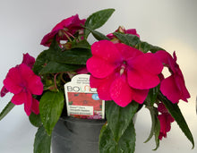 Load image into Gallery viewer, Bounce Impatiens Cherry, 6""